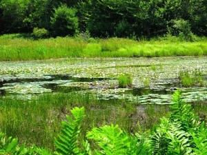 Acadia green marsh