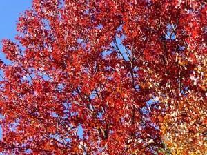 VT red tree