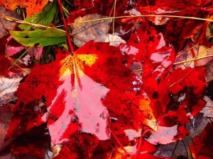 VT shiny red leaf